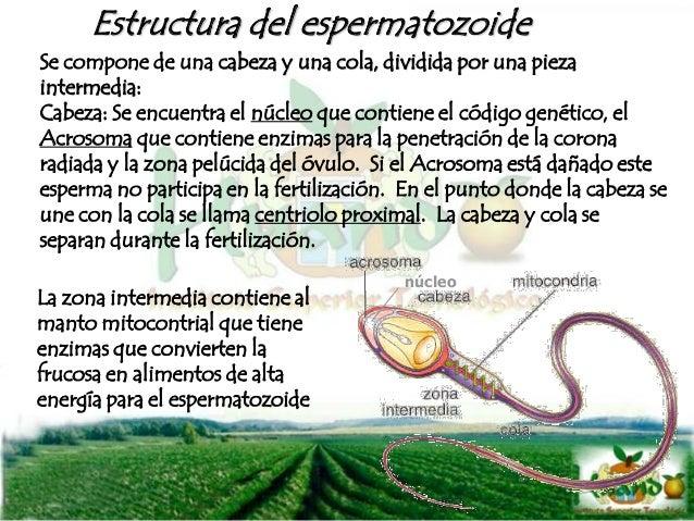 Vida fértil en horas Espermas Övulo Vacuno Cerdo Ovino caballo 24 – 48 24 – 48 30 – 48 72 - 120 8 – 12 8 – 10 16 – 24 6 - 8
