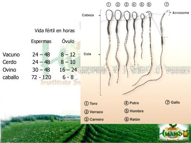 Periodos del ciclo estral Los períodos del ciclo estral son el estro, metaestro, diestro y proestro. Estos ocurren de mane...