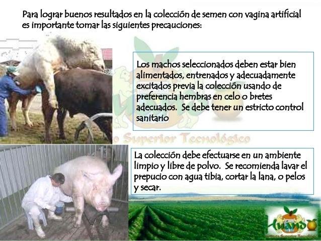 Para disponer de una buena calidad de semen en toros y carneros deben ser usados con un régimen semanal de 2 a 3 saltos po...