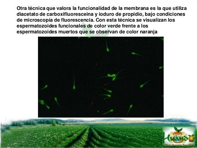 Se realiza inmediatamente después de la colección, normalmente fluctúa entre 6.2 a 6.8 en ovinos, vacunos y cerdos, si tie...