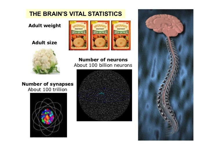 THE BRAIN'S VITAL STATISTICS  Adult weight   Adult size                         Number of neurons                       Ab...