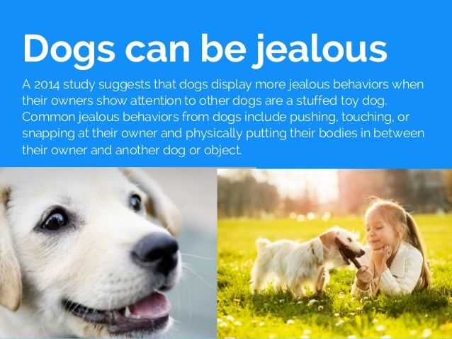Dogs can be jealous A 2014 study suggests that dogs display more jealous behaviors when their owners show attention to oth...