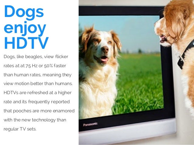 Dogs enjoy HDTV Dogs, like beagles, view flicker rates at at 75 Hz or 50% faster than human rates, meaning they view motio...