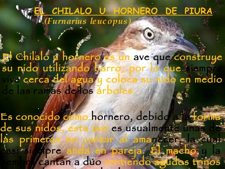 EL  CHILALO  U  HORNERO  DE  PIURA El Chilalo u hornero es un  ave que  construye   su nido utilizando barro, por lo que  ...