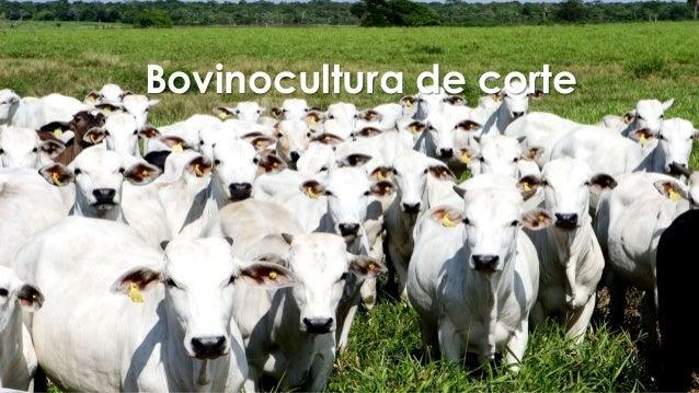 Bovinocultura de corte