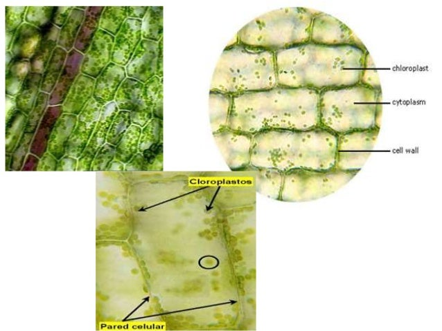 Elodea under microscope 40x