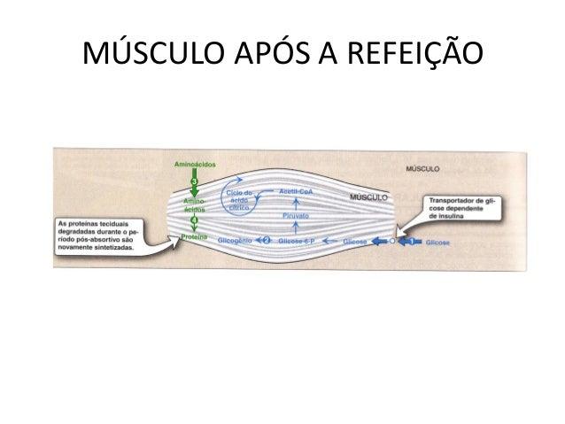 MÚSCULO APÓS A REFEIÇÃO