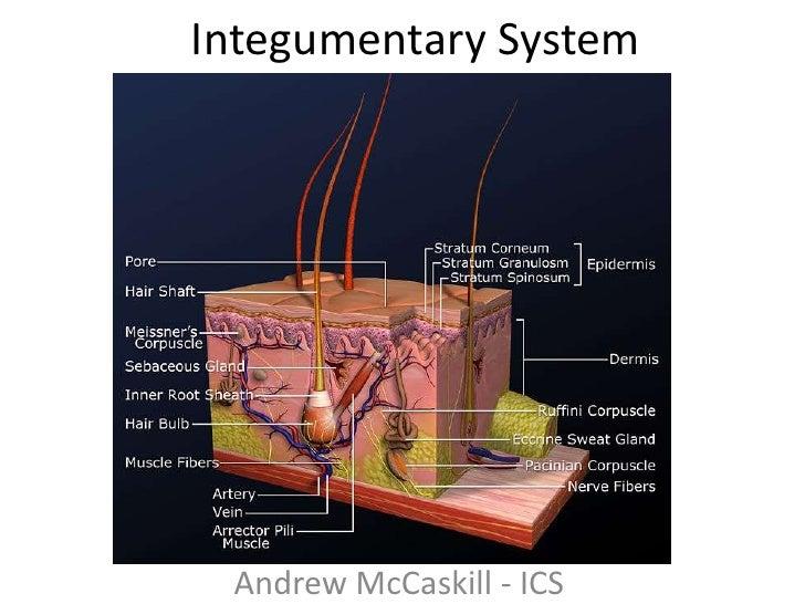 Integumentary System <br />Andrew McCaskill - ICS<br />