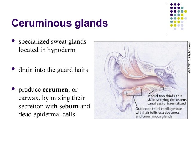 which glands produce ear wax? socratic Structural Formula of Wax image slidesharecdn com