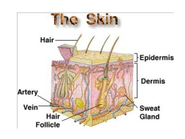 Parts Of Integumentary System Project Awesome Photo Gallery Website ...