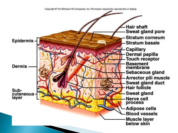 Skin Structure Diagram Unlabeled The Cell Diagram ...