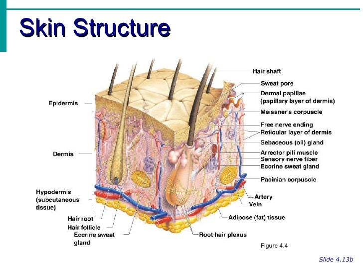 Integumentary System Skin Diagram Nerve Ending Block And Schematic