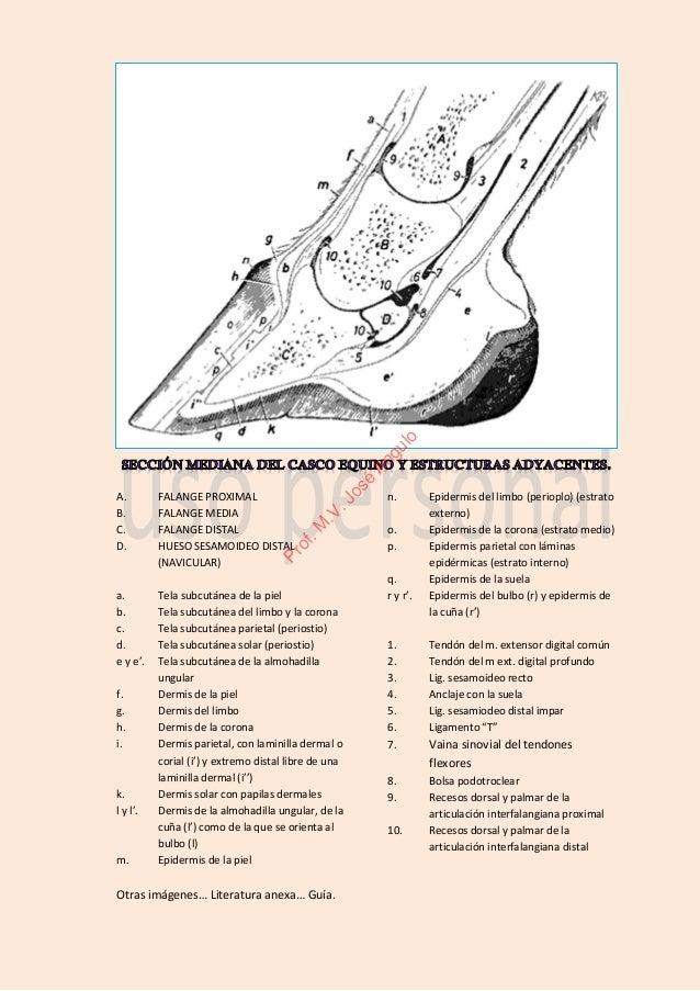 Integumento comun-casco-ungula