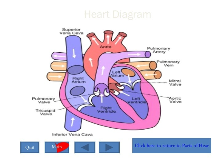 Interactive powerpoint on the heart heart diagram ccuart