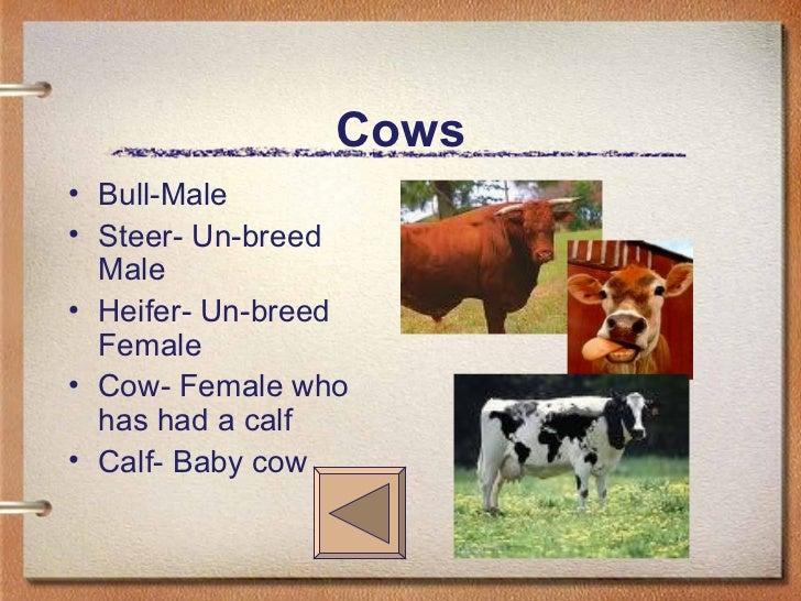 Cows <ul><li>Bull-Male </li></ul><ul><li>Steer- Un-breed Male </li></ul><ul><li>Heifer- Un-breed Female </li></ul><ul><li>...