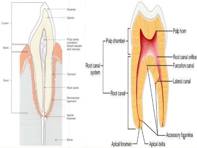 Internal anatomy of anterior tooth