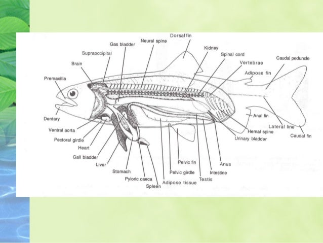 Fish Internal Anatomy Diagram - Enthusiast Wiring Diagrams •