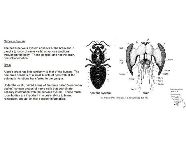 Internal anatomy of the honey bee