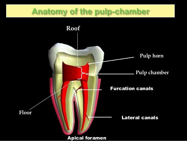 Internal Anatomy Of Tooth