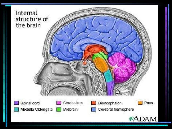 Internal Brain Structure & Cranial Nerves