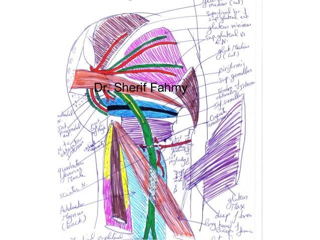 Internal Iliac Artery (Anatomy of the Abdomen)