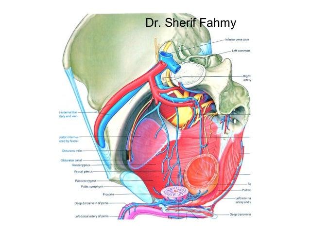 Internal Iliac Artery Anatomy Of The Abdomen