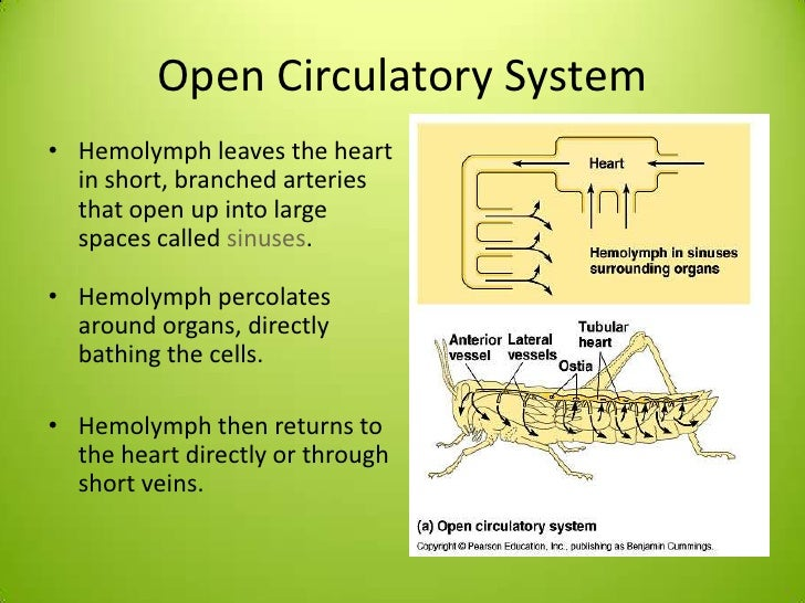 insects circulatory system This article reviews major features and functions of the arthropod circulatory system in insects, the circulatory system acquired completely new tasks and.