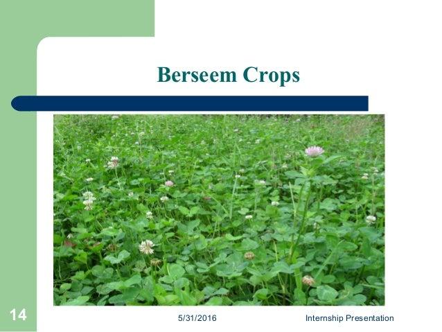 Berseem Crops 5/31/2016 Internship Presentation14