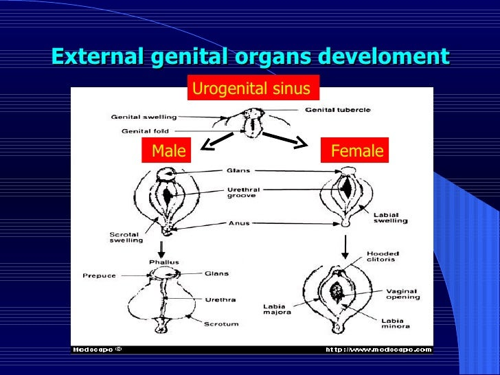 External genital organs develoment   Female  Male  Urogenital sinus