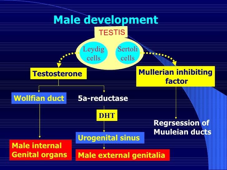 Leydig cells Sertoli cells Testosterone  Mullerian inhibiting factor Wollfian duct 5a-reductase  Urogenital sinus  Regrses...