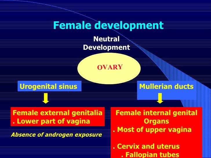 Urogenital sinus  Female external genitalia . Lower part of vagina OVARY  Mullerian ducts  Female internal genital Organs ...