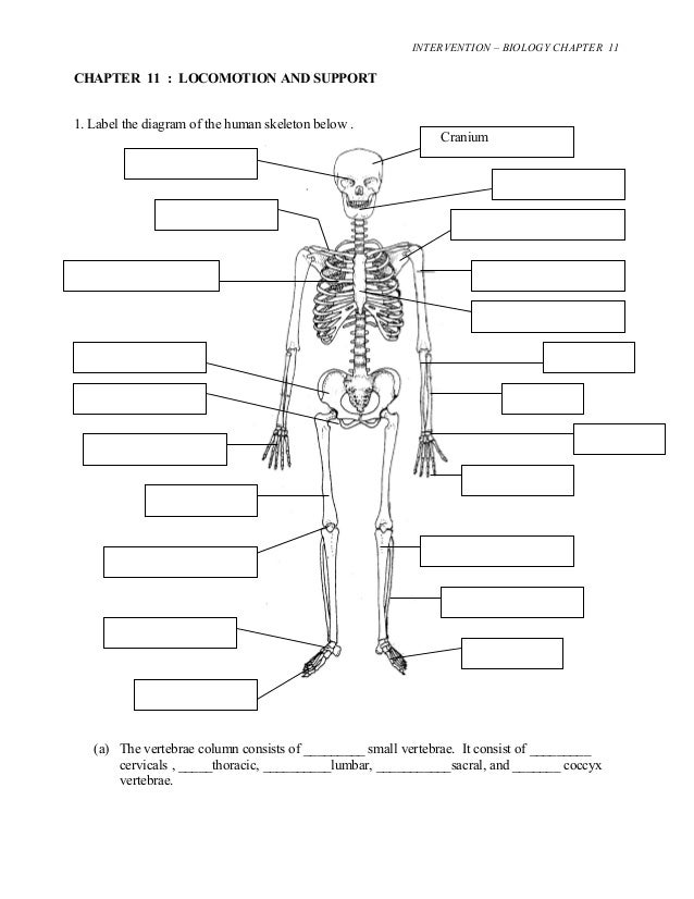 INTERVENTION – BIOLOGY CHAPTER 11  CHAPTER 11 : LOCOMOTION AND SUPPORT  1. Label the diagram of the human skeleton below ....