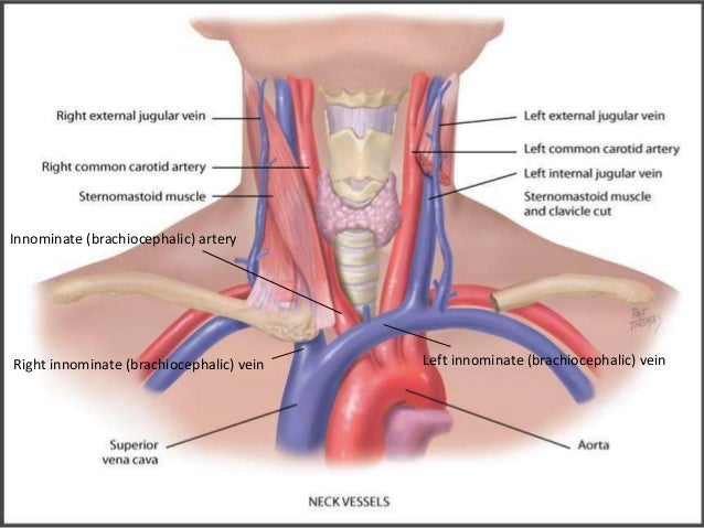 Magnificent Innominate Artery Crest - Anatomy And Physiology Biology ...