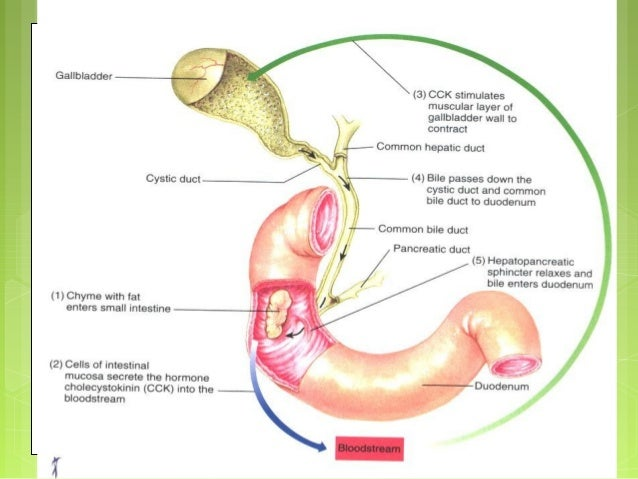 Niedlich Small Intestine Anatomy And Physiology Bilder - Anatomie ...
