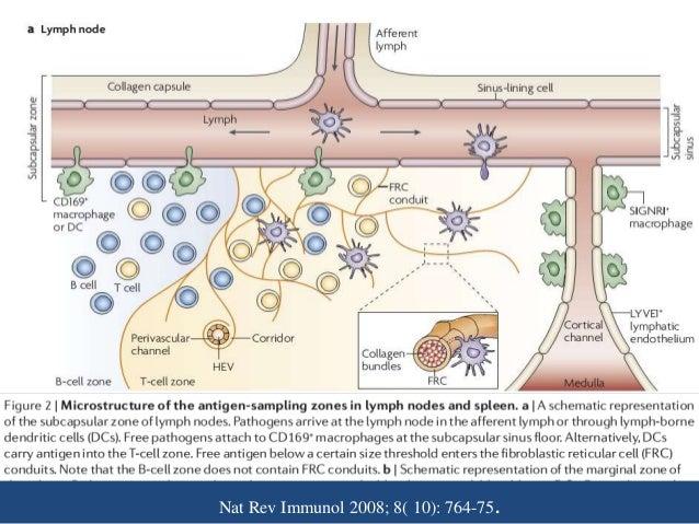 Nat Rev Immunol 2008; 8( 10): 764-75.