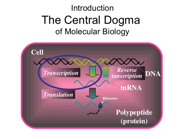 mRNA Transcription Introduction The Central Dogma of Molecular Biology Cell Polypeptide (protein) Translation Ribosome Rev...
