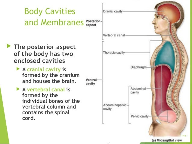 thoracic cavity contains what organs