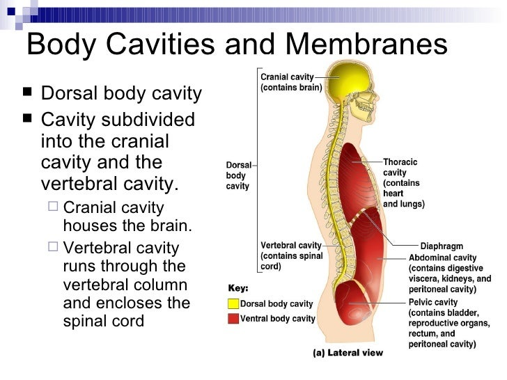 Intro to anatomy powerpoint ccuart Gallery