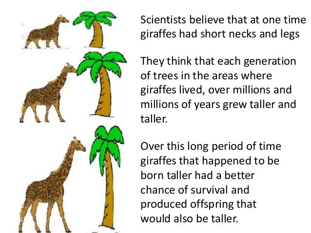 GIRAFFE Million Note ~ Fantasy Note ~ Acacia Tree; Multiple Girafees