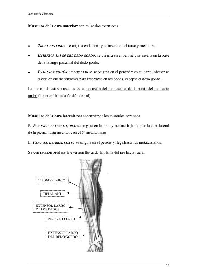 Introduccion a la anatomia 3 (1)