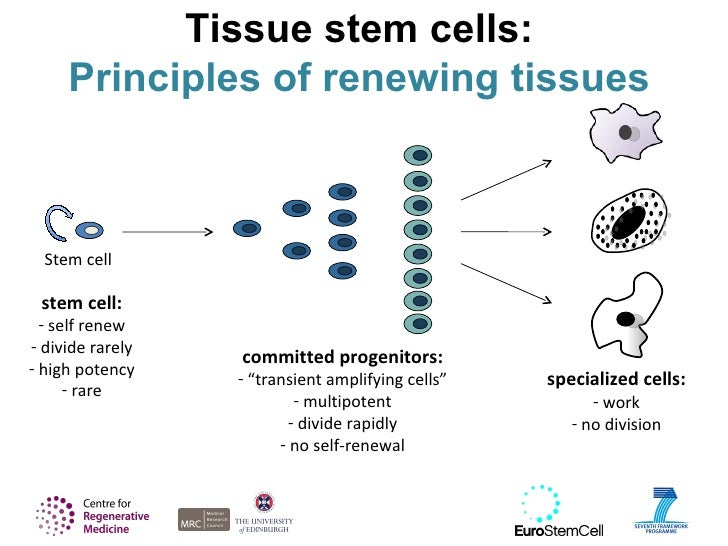 Introducing stem cells tissue stem cell types and hierarchies 27 ccuart Gallery