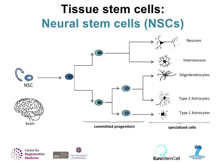 Neural stem cell