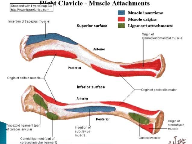 anatomy..clavicle
