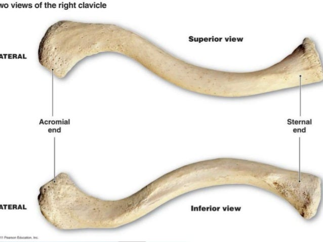 Osteology Of Clavicle