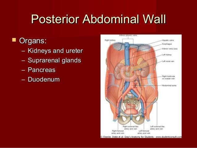 Introduction abdomen drgosai posterior abdominal wallposterior abdominal wall ccuart Images