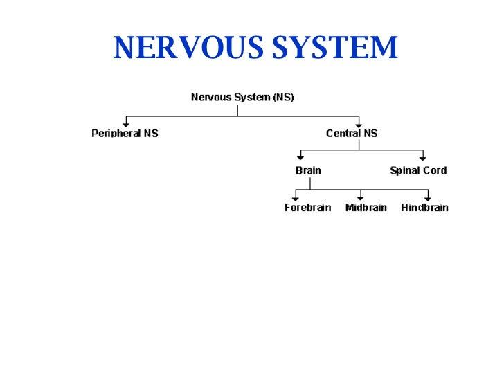 NERVOUS SYSTEM Divisisons of Nervous System