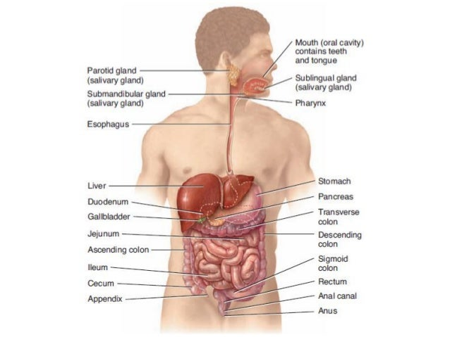 Introduction of gastrointestinal tract