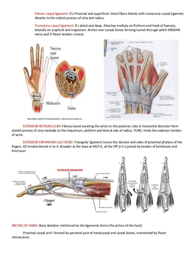 Finger Ligaments Anatomy Image collections - human body anatomy