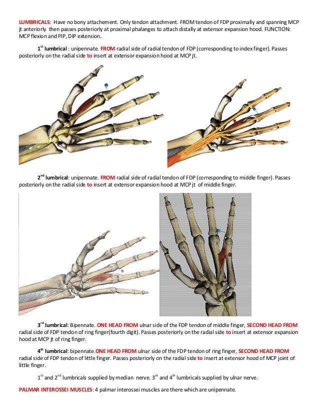 Pinky Finger Anatomy Gallery - human body anatomy