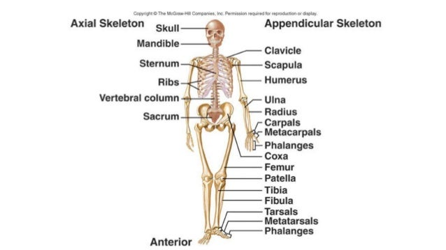 introduction to 206 bones of the human body, Skeleton